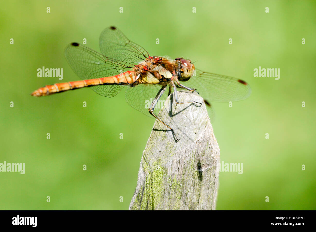 Profile of a brown and yellow dragonfly resting on a mossy fence post Stock Photo