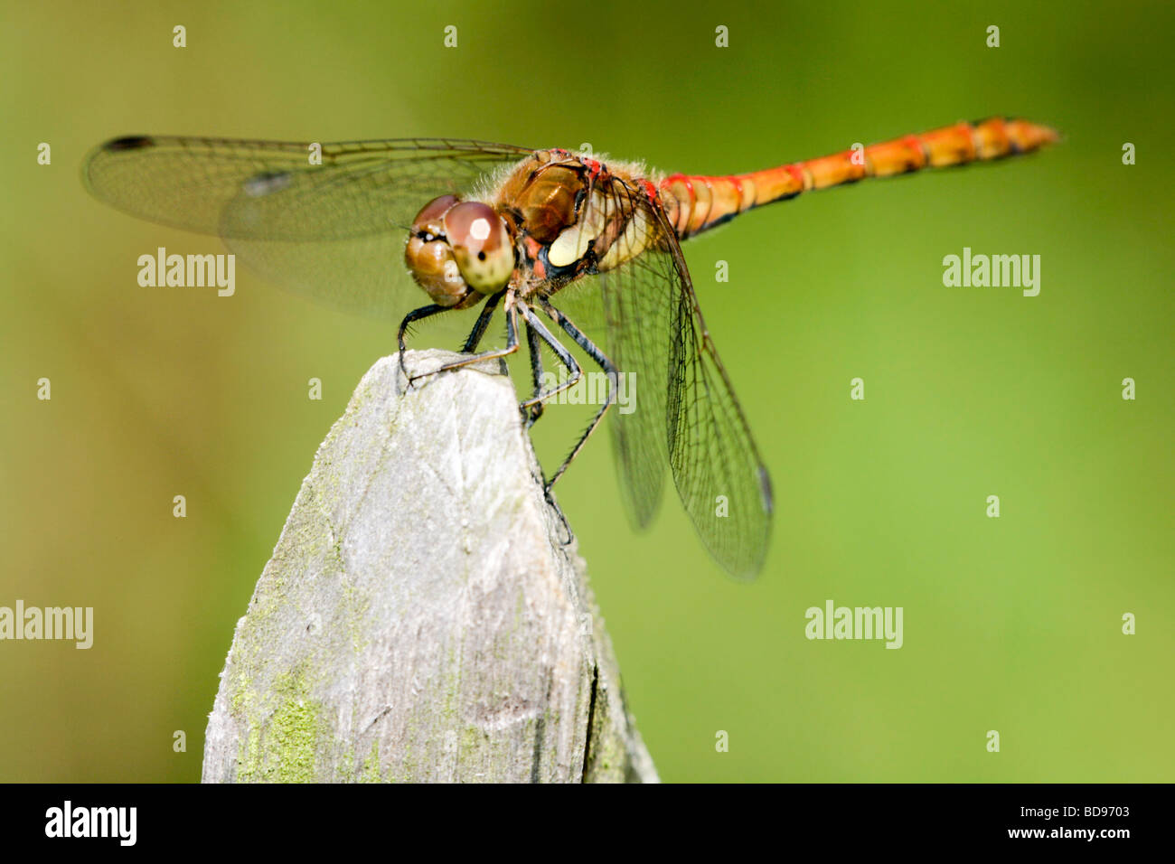 Close-up of the face of a brown and yellow dragonfly resting on a mossy fence post - Stock Image
