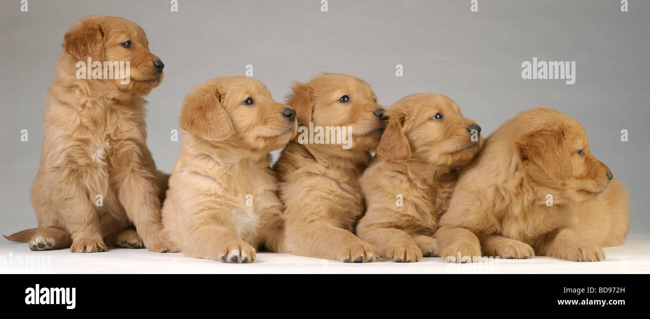 Male And Female Golden Retrievers From The Same Puppy Litter Look For Stock Photo Alamy