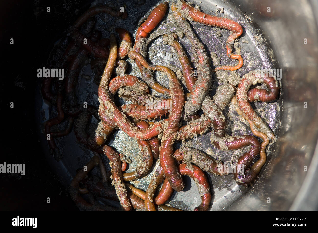 Fresh Lugworms dug from the beach at low tide - Stock Image