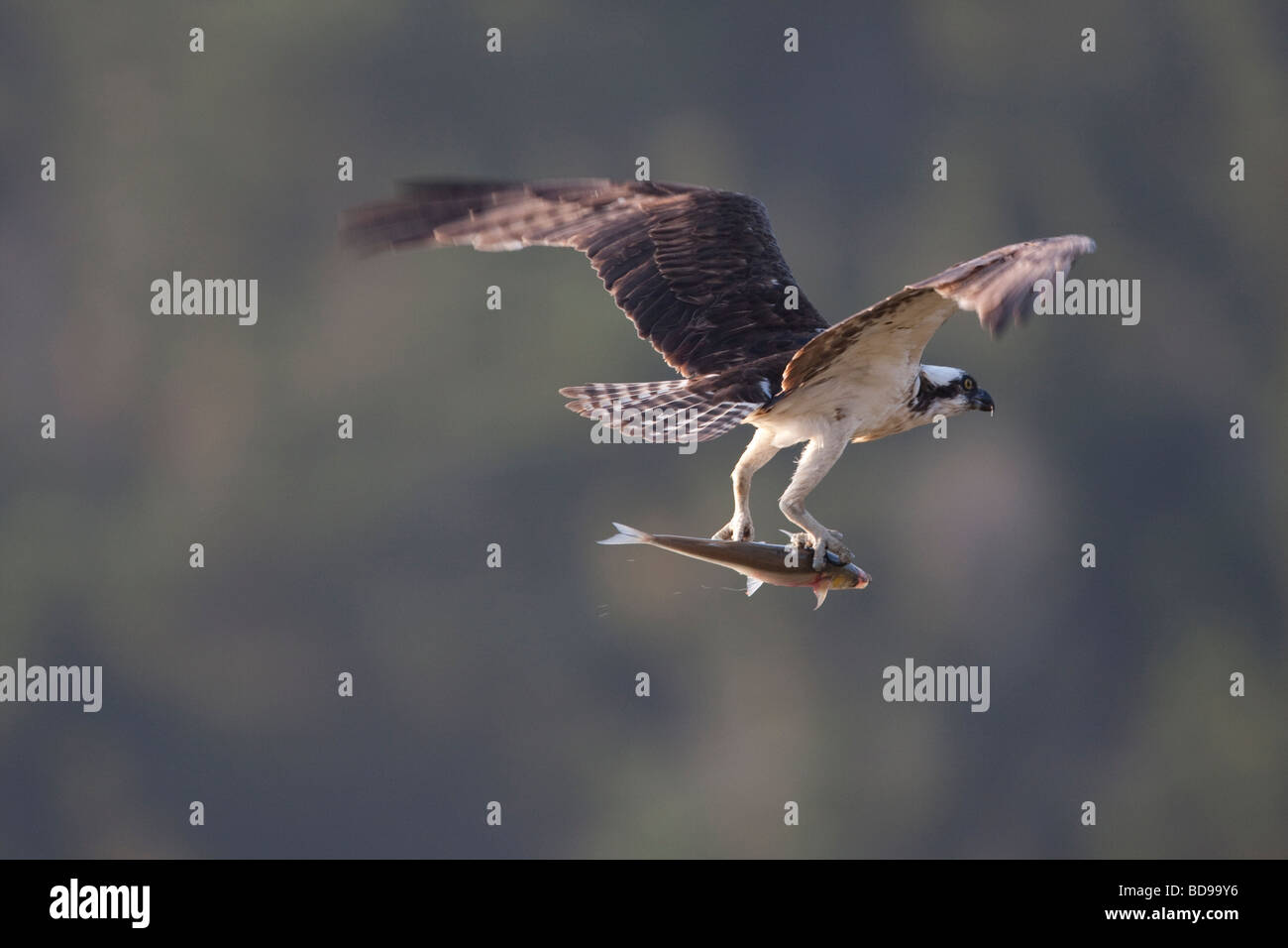 Osprey flying with a fish, Point Reyes National Seashore, Caifornia, USA - Stock Image