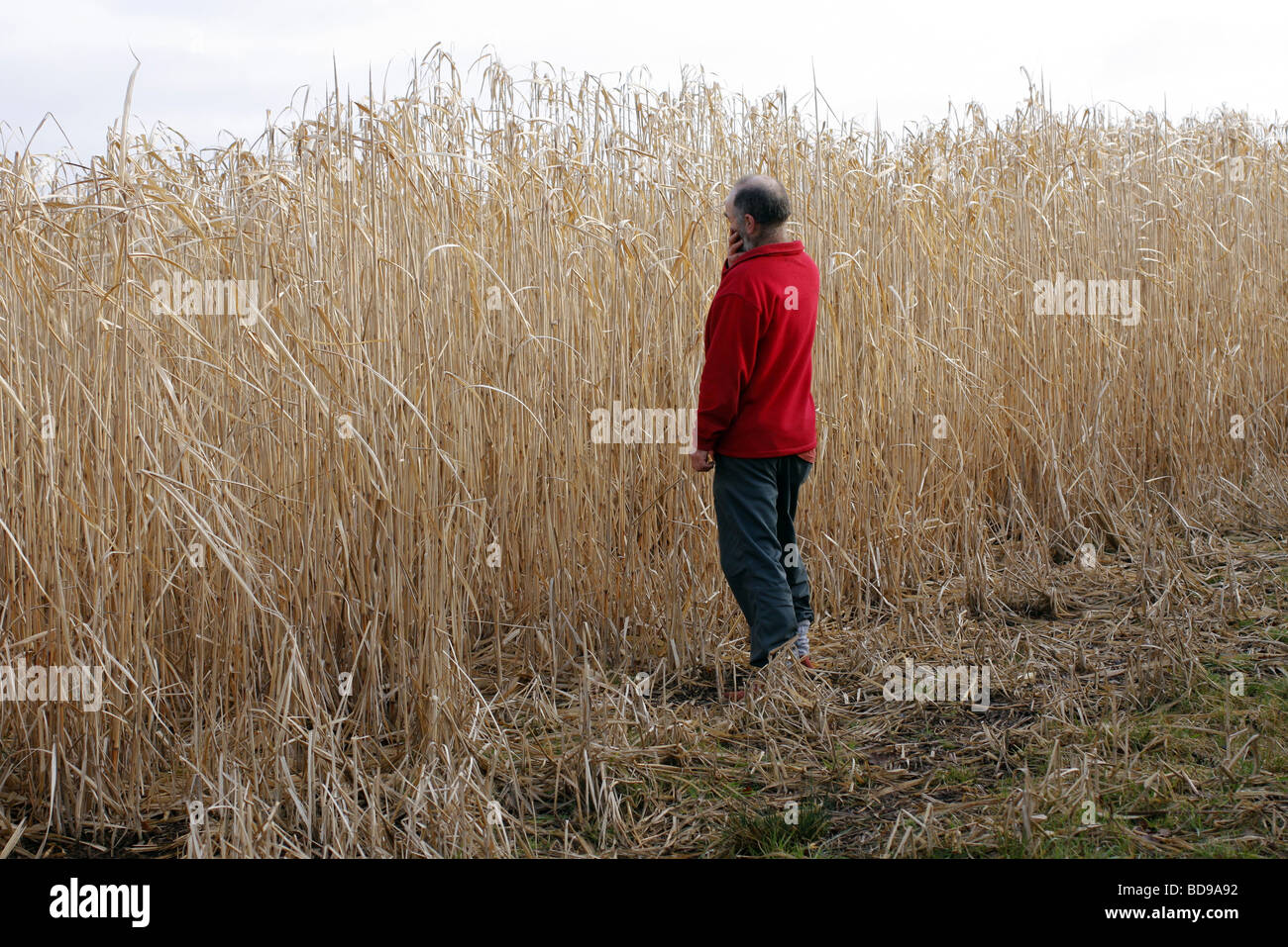 Miscanthus biomass crop in early March Somerset - Stock Image