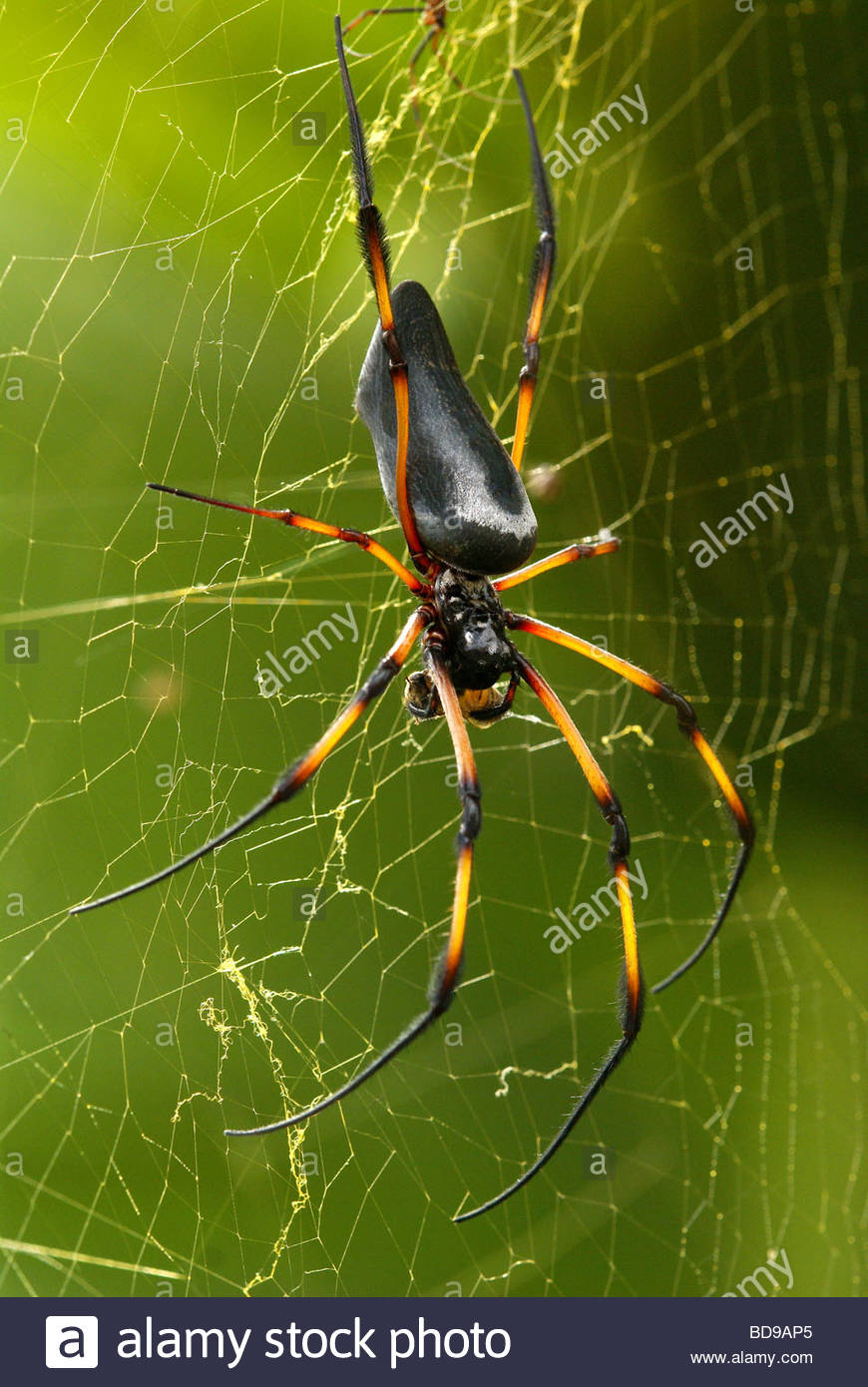 Nephila inaurata - red-legged golden orb-web palm spider - found in Réunion, Mauritius, Rodrigues, Seychelles, - Stock Image
