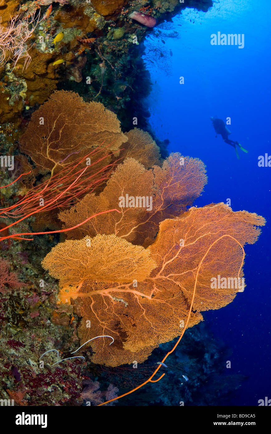 Big gorgonian sea fans and scubadiver, Philippines - Stock Image