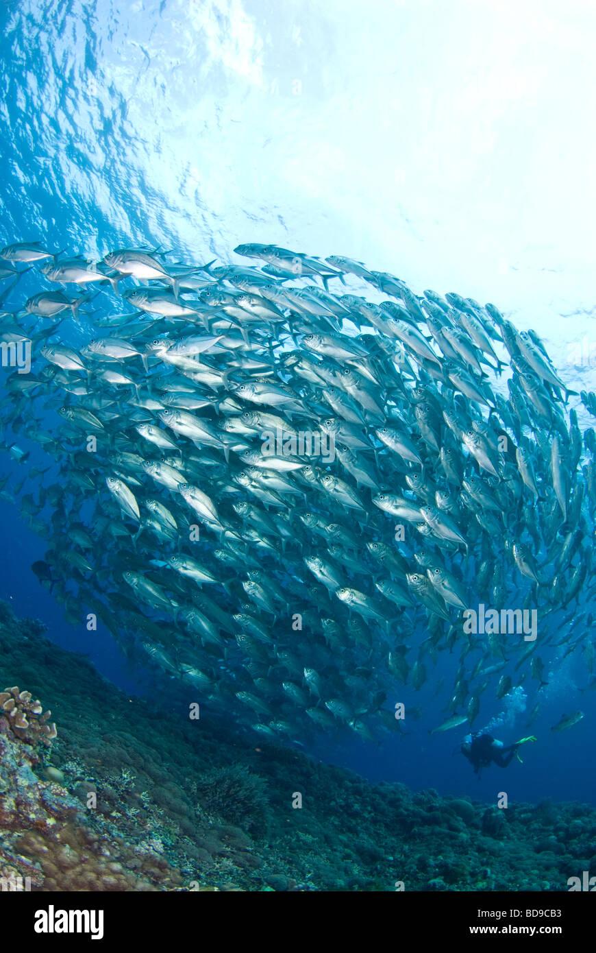 Schooling big eye jackfish and scuba diver, Tubbataha, Philippines - Stock Image