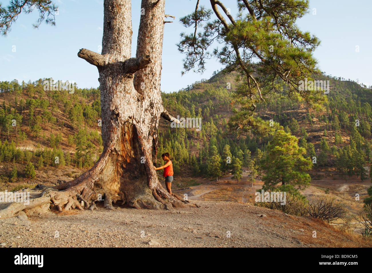 Female tourist at base of large canary pine tree on Gran Canaria - Stock Image