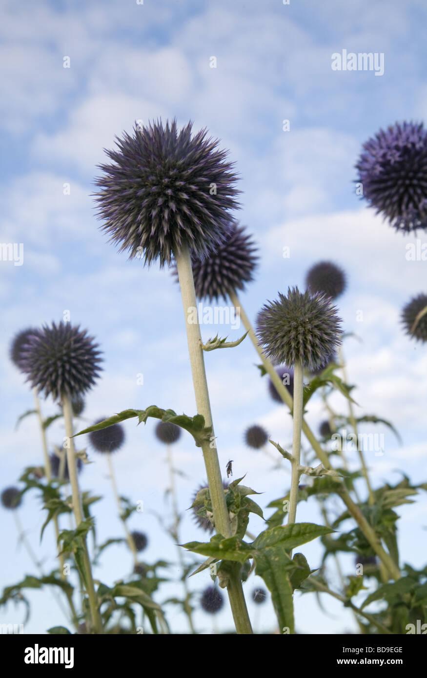Blue Allium Flowers - Stock Image