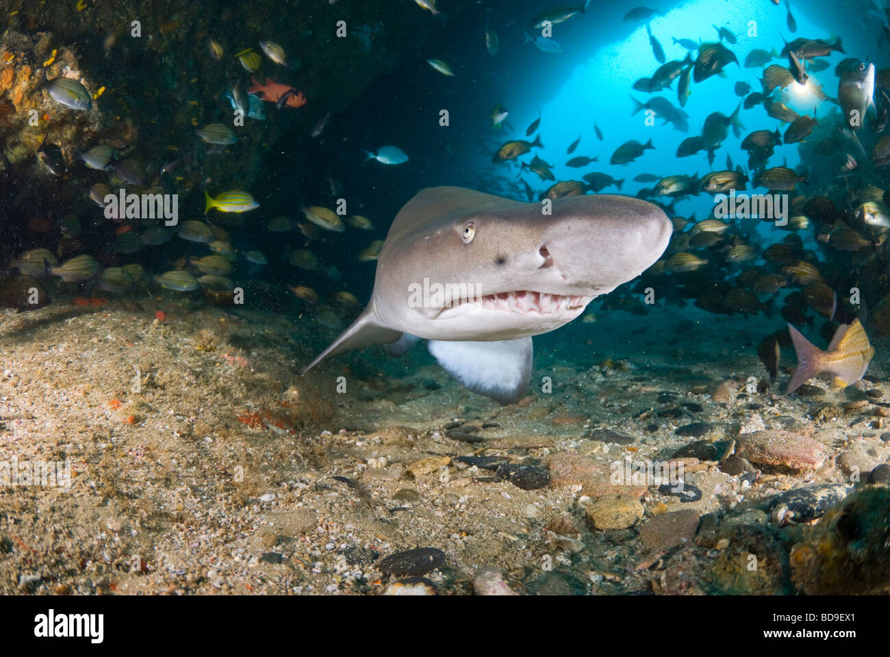 Ragged tooth shark or Sand tiger (Carcharias taurus), Aliwal Shoal, South Africa Stock Photo