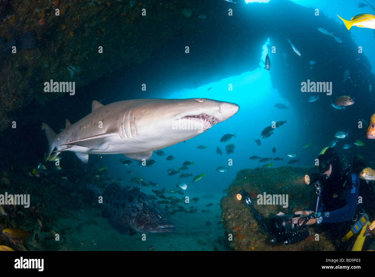 Ragged tooth shark or Sand tiger (Carcharias taurus), Aliwal Shoal, South Africa - Stock Image