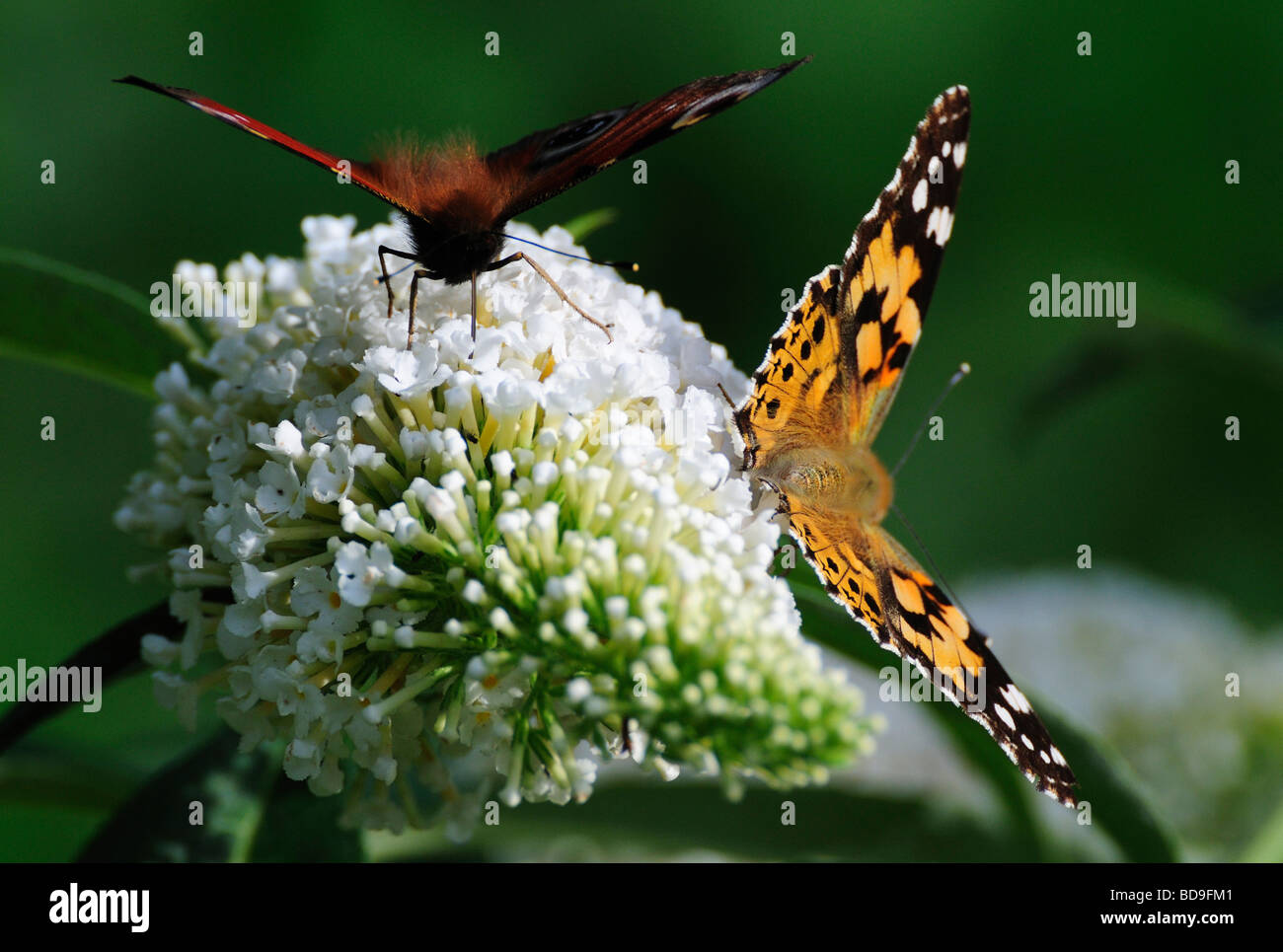 Butterflies ,'painted lady' on a Buddleia in the Garden - Stock Image