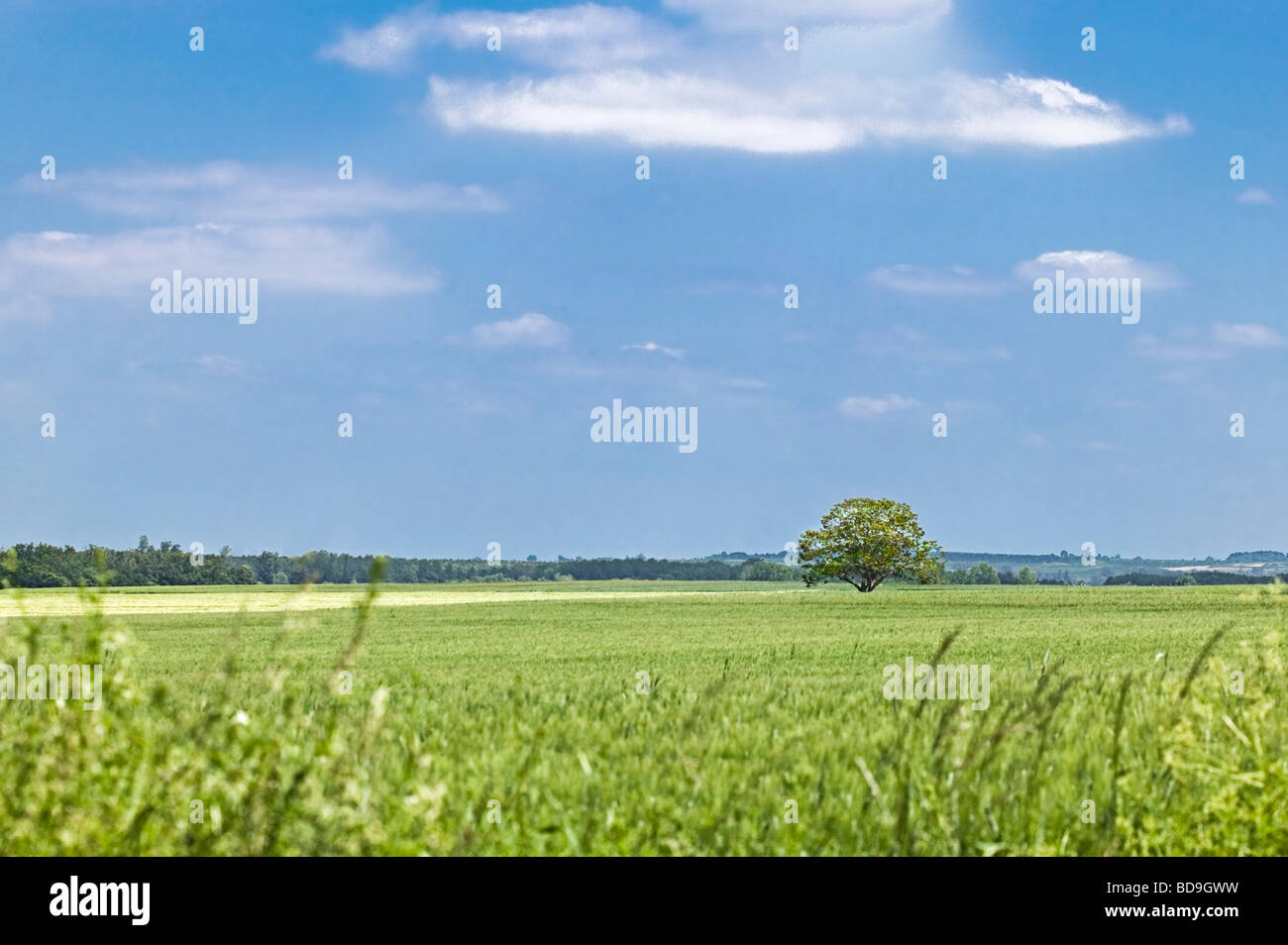 field of green wheat and single round tree. Spring in Charente Maritime France - Stock Image