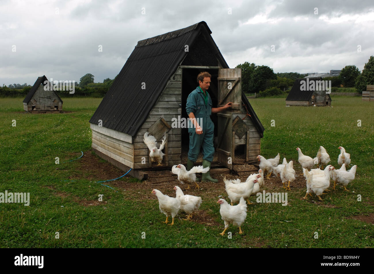 Free range organic chickens on a farm in midlands UK - Stock Image