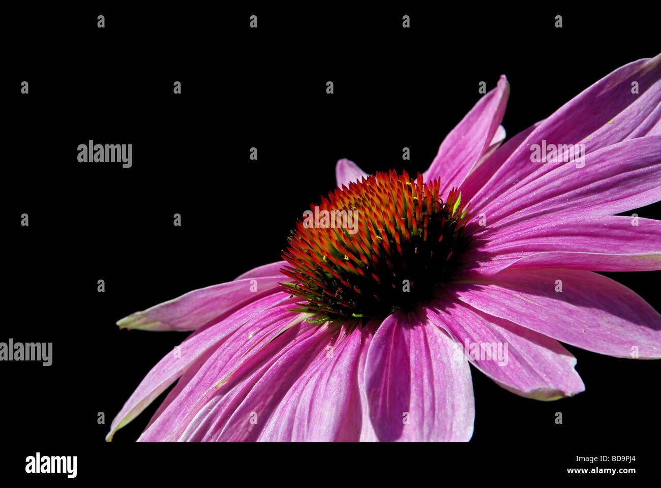 Sonnenhut Purpur Purple Coneflower 13 - Stock Image