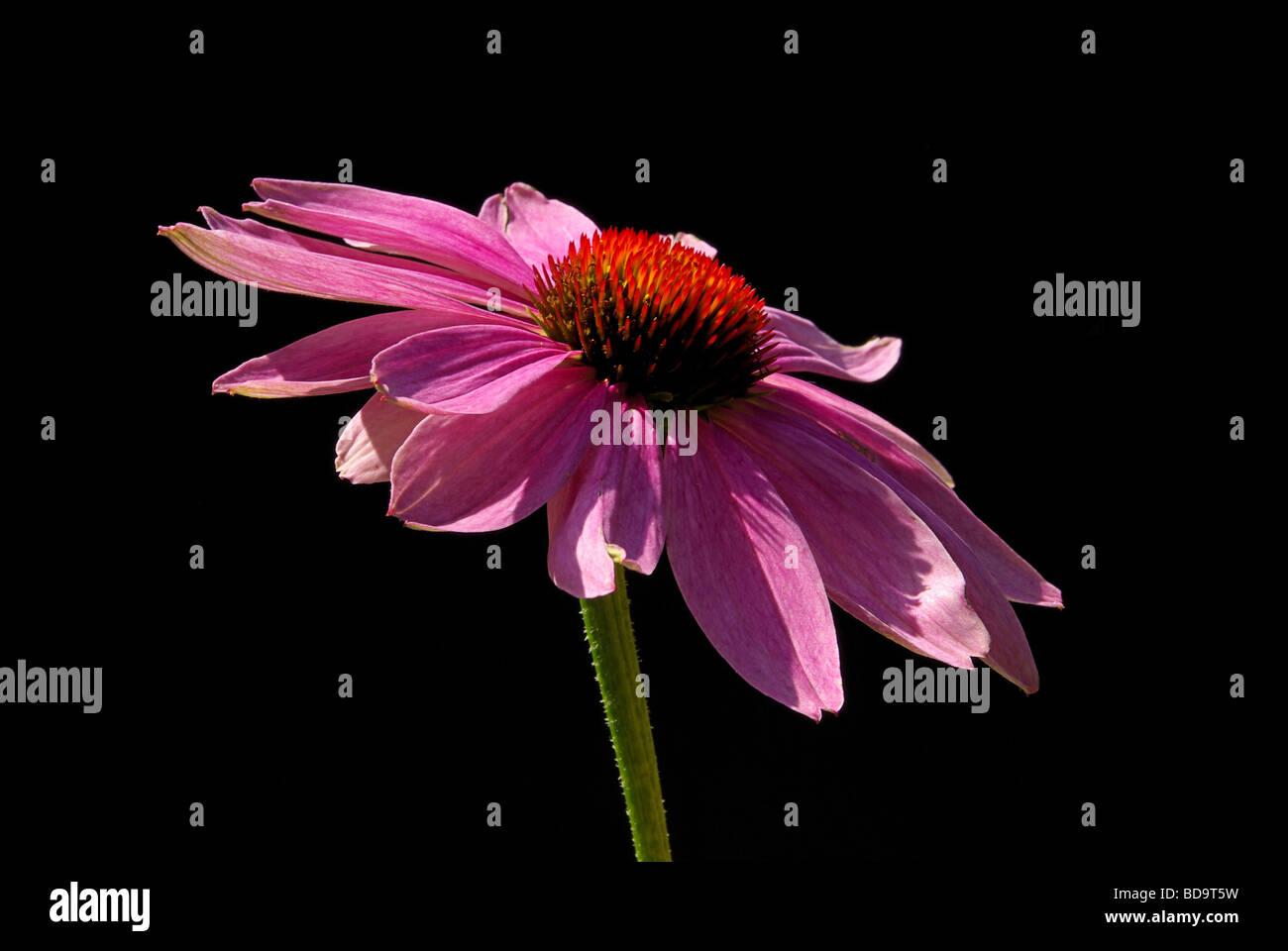 Sonnenhut Purpur Purple Coneflower 05 - Stock Image