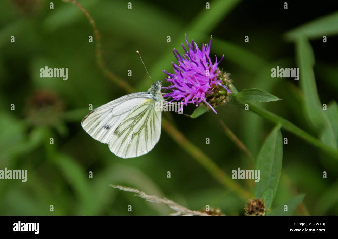 Green-veined White Butterfly, Pieris napi, Pieridae, Lepidoptera, UK - Stock Image
