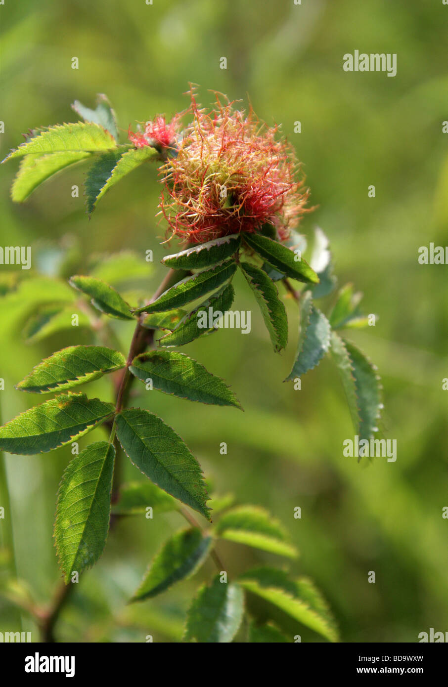 Bedeguar Gall on Dog Rose. Caused by the Parasitic Mossy Rose Gall Wasp, Diplolepis rosae, Cynipoidea, Hymenoptera. - Stock Image