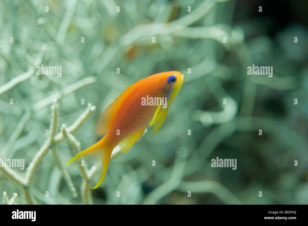 Profile view of an Anthias fish. - Stock Image