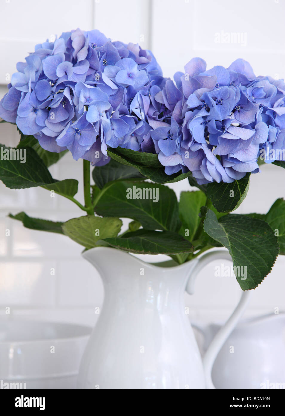Hydrangea flowers in pitcher - Stock Image