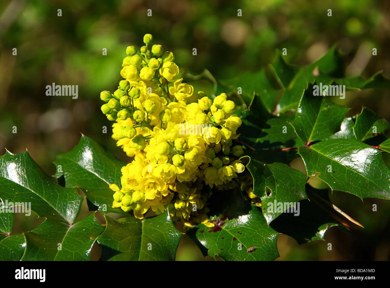 berberis aquifolium stock photos berberis aquifolium stock images alamy. Black Bedroom Furniture Sets. Home Design Ideas