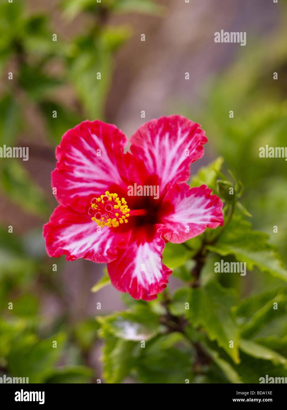 White hibiscus flower stock photos white hibiscus flower stock pink red and white hibiscus flower stock image izmirmasajfo