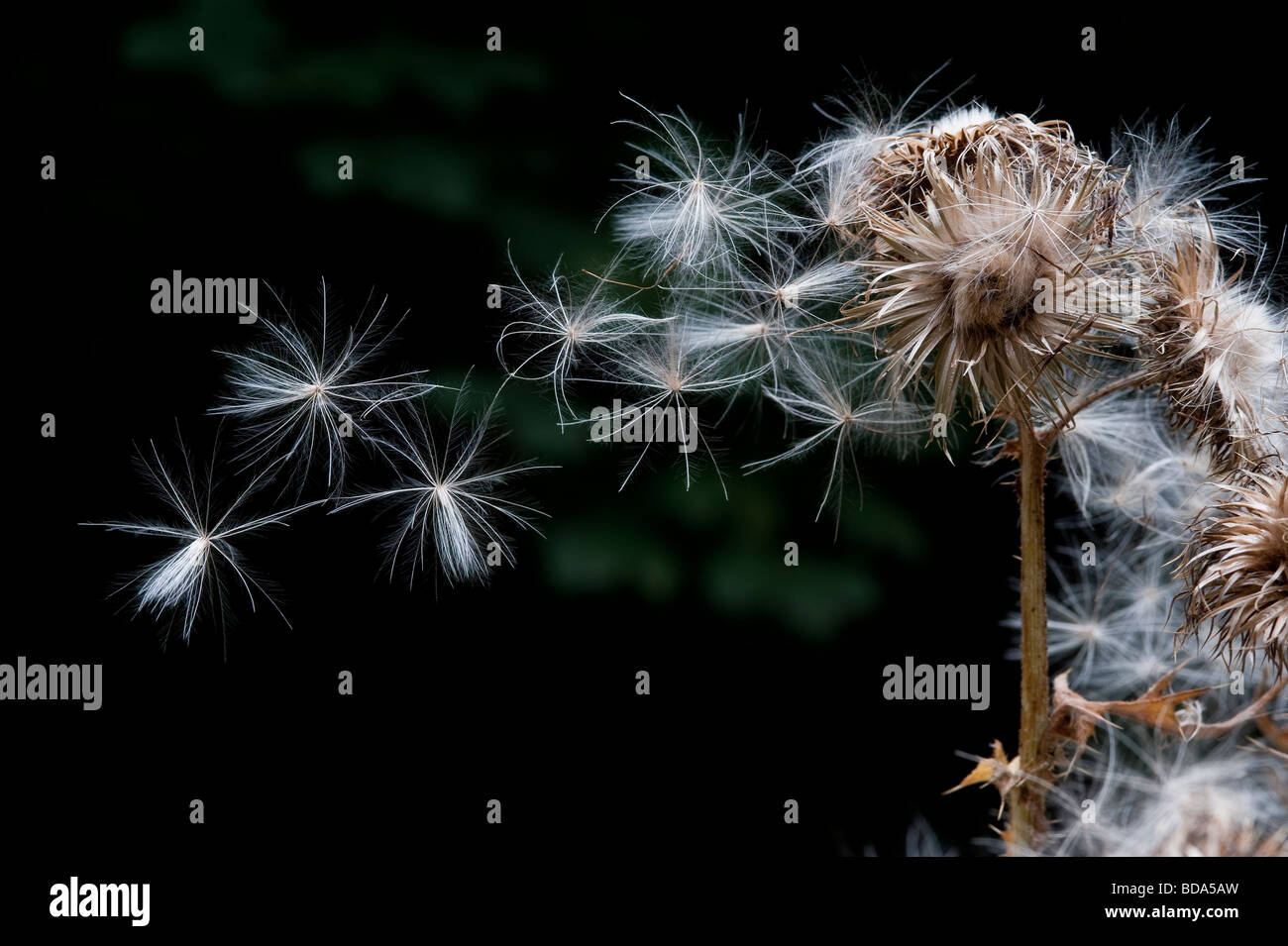 Spear thistle seeds blowing in wind from seedhead dark background - Stock Image