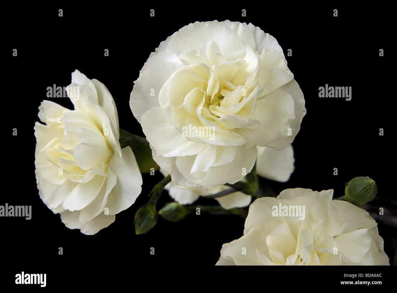 Nelke carnation 05 - Stock Image