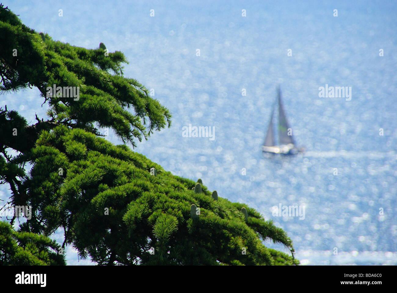 Segelboot mit Zeder cedar with sailing boat 01 - Stock Image