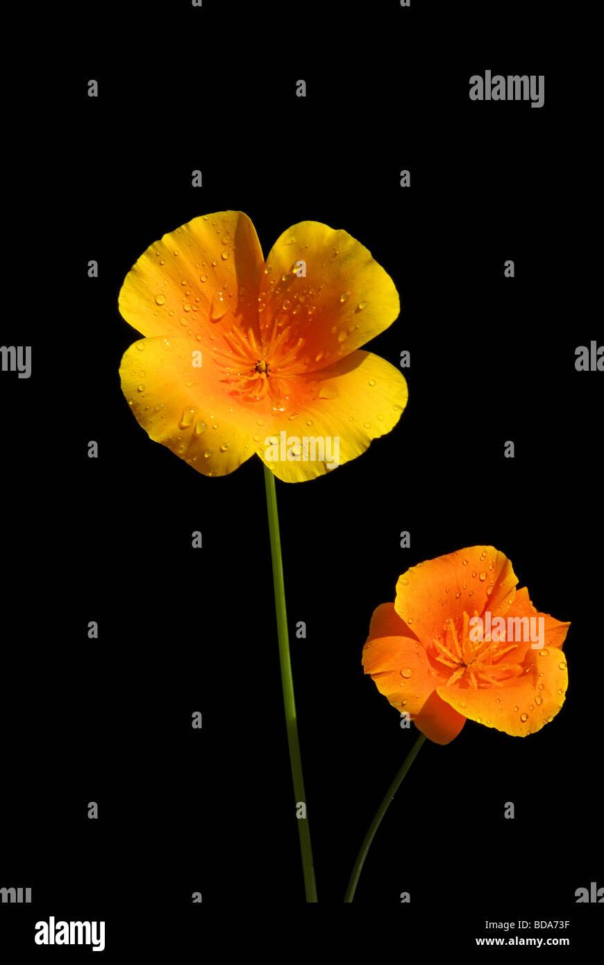 Kalifornischer Mohn California poppy 06 - Stock Image