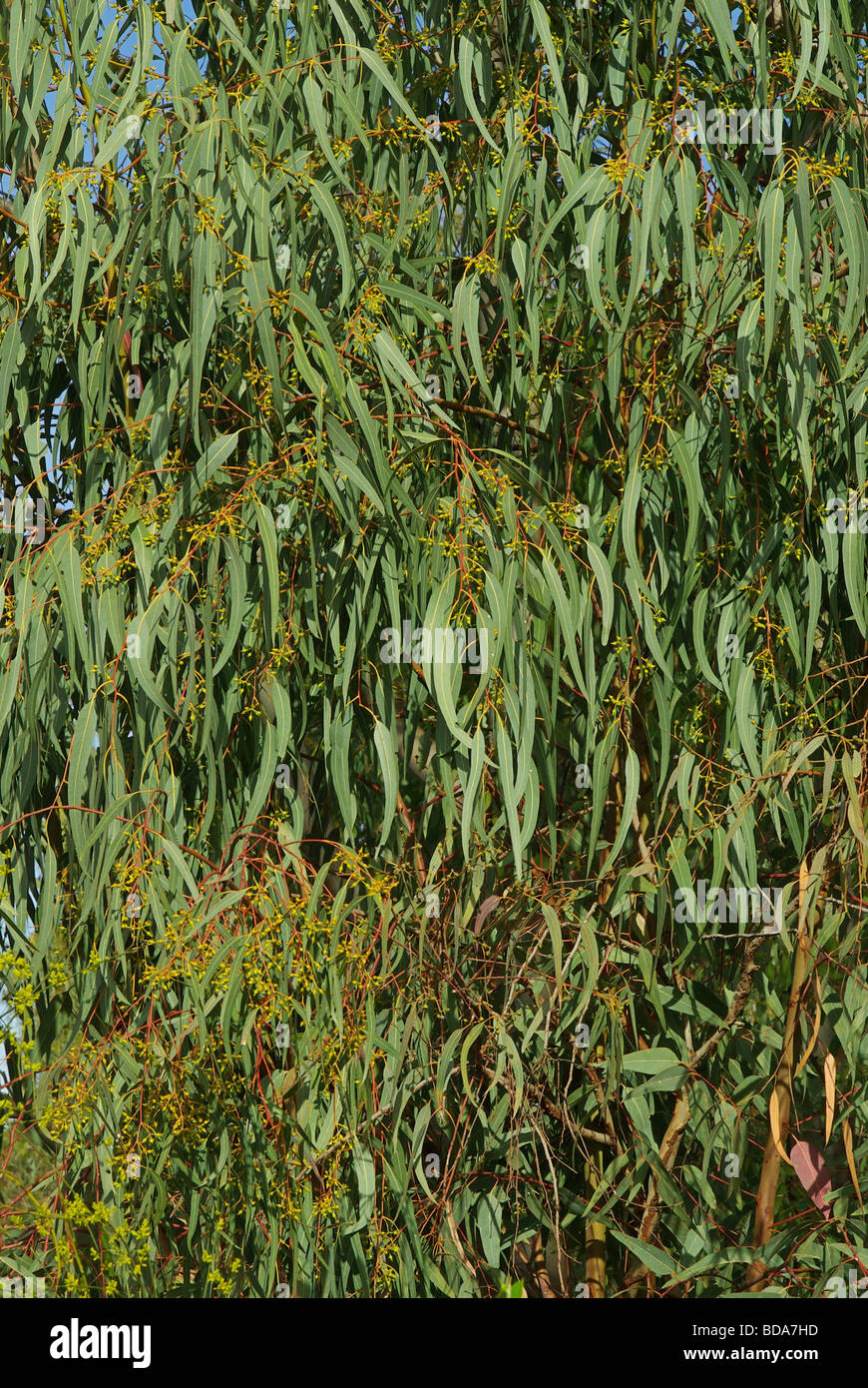 Eukalyptus eucalyptus 06 - Stock Image