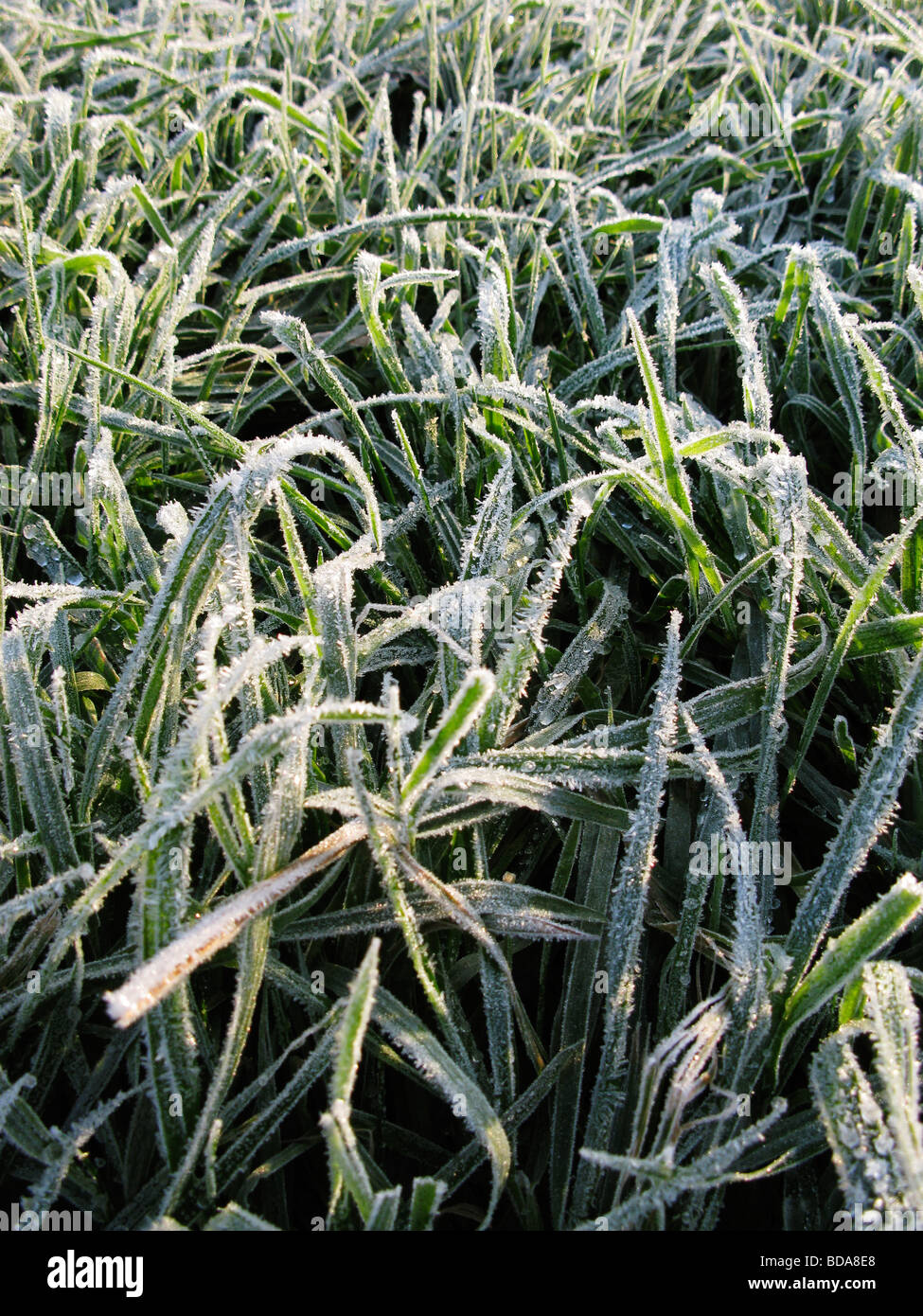frosty grass in the early morning in winter Stock Photo