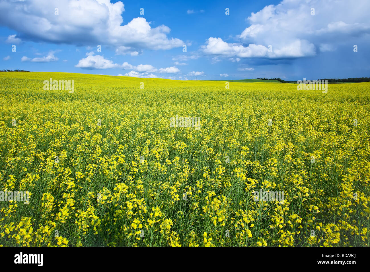 Canola field and cumulus clouds on the Canadian Prairie, Pembina Valley, Manitoba, Canada. Stock Photo