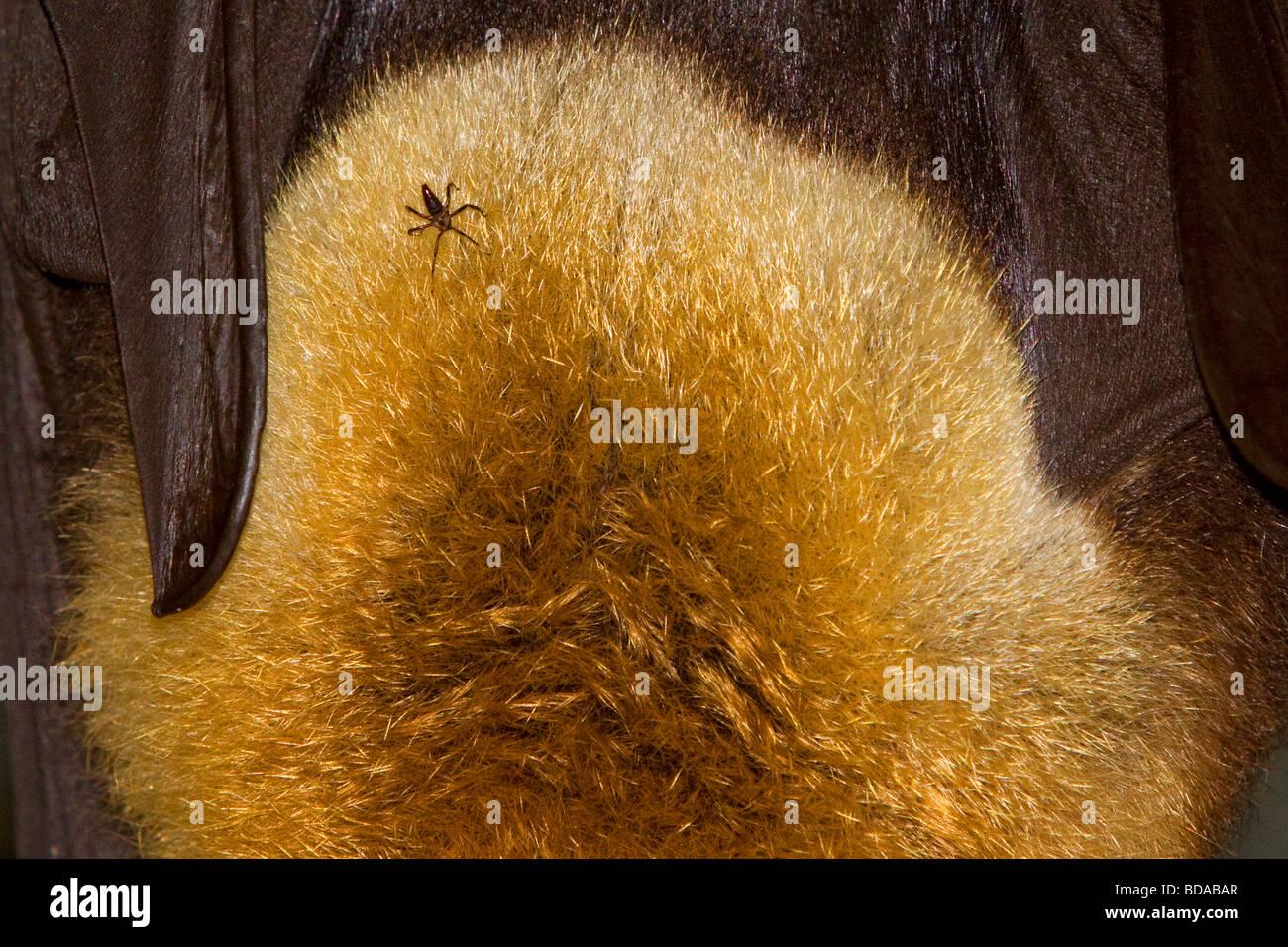 Grey-headed flying fox Pteropus poliocephalus Fruit Bat with tick parasite - Stock Image