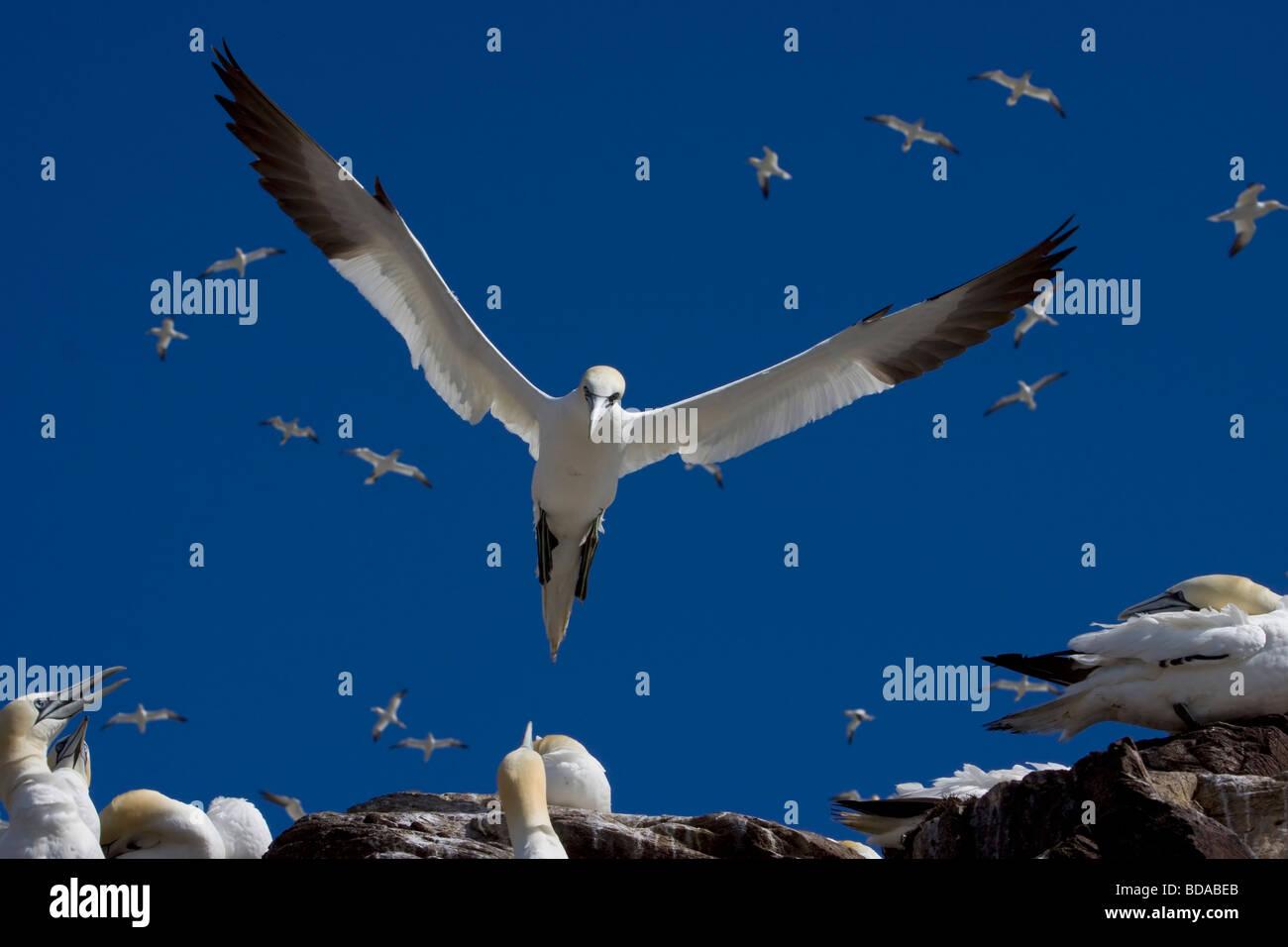 Gannets gannet in flight Bass Rock Morus bassanus sula bassana - Stock Image