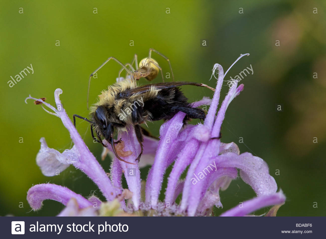 Spider and dead bee on Wild bergamot in Rouge Park an urban wilderness in Toronto Ontario Canada - Stock Image