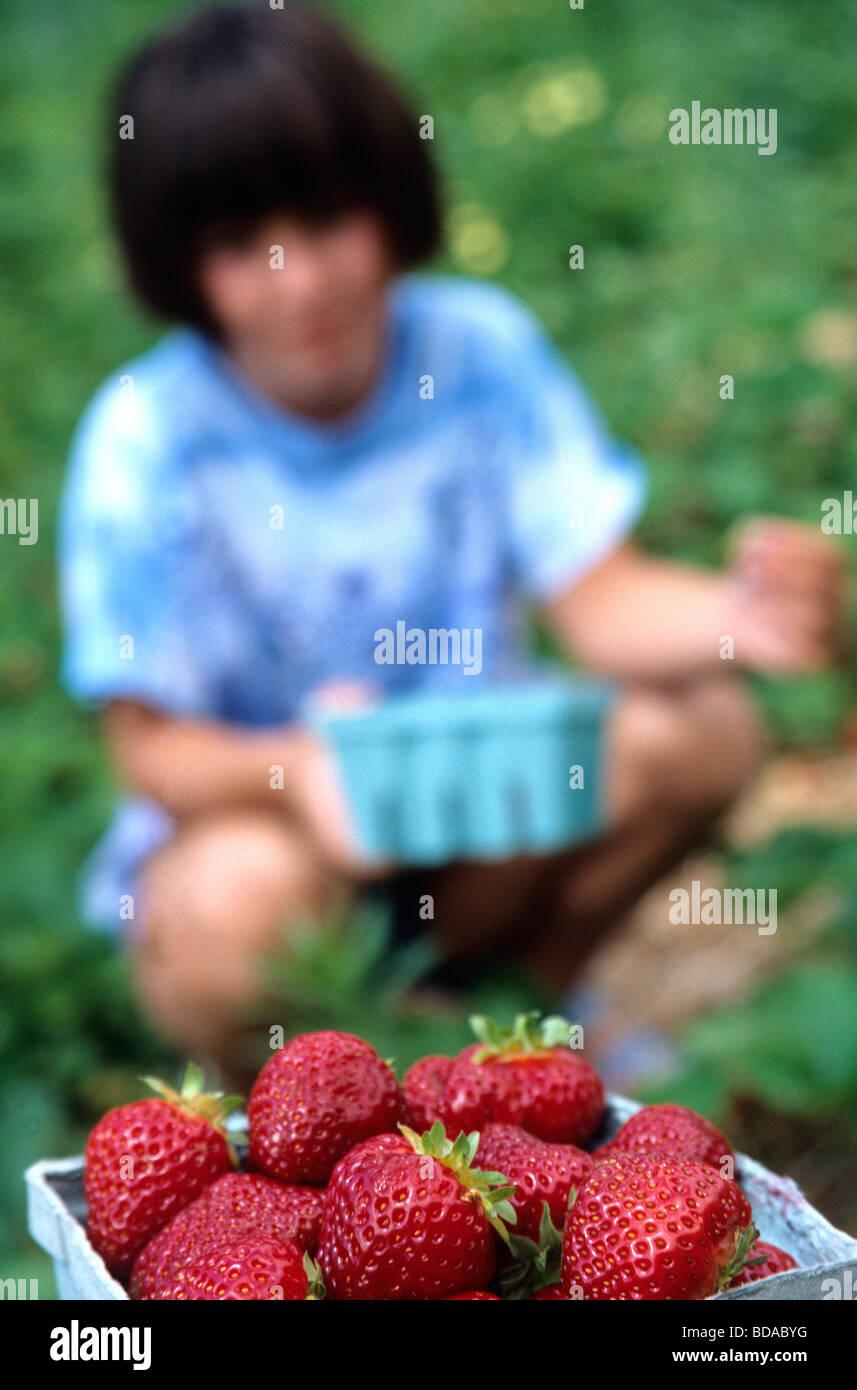 Child picking strawberries - Stock Image