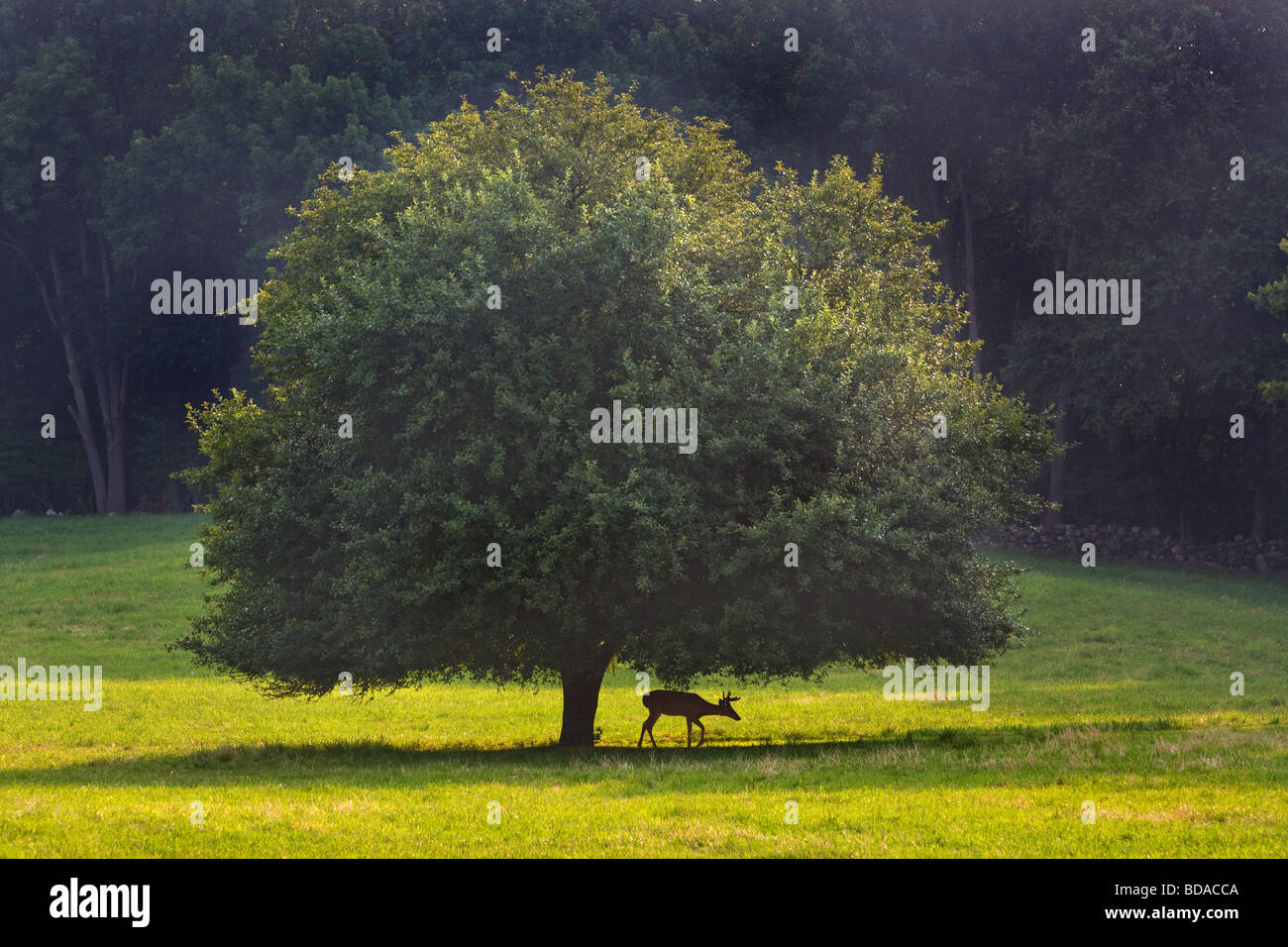 A young Stag under a tree in Orange Connecticut USA - Stock Image