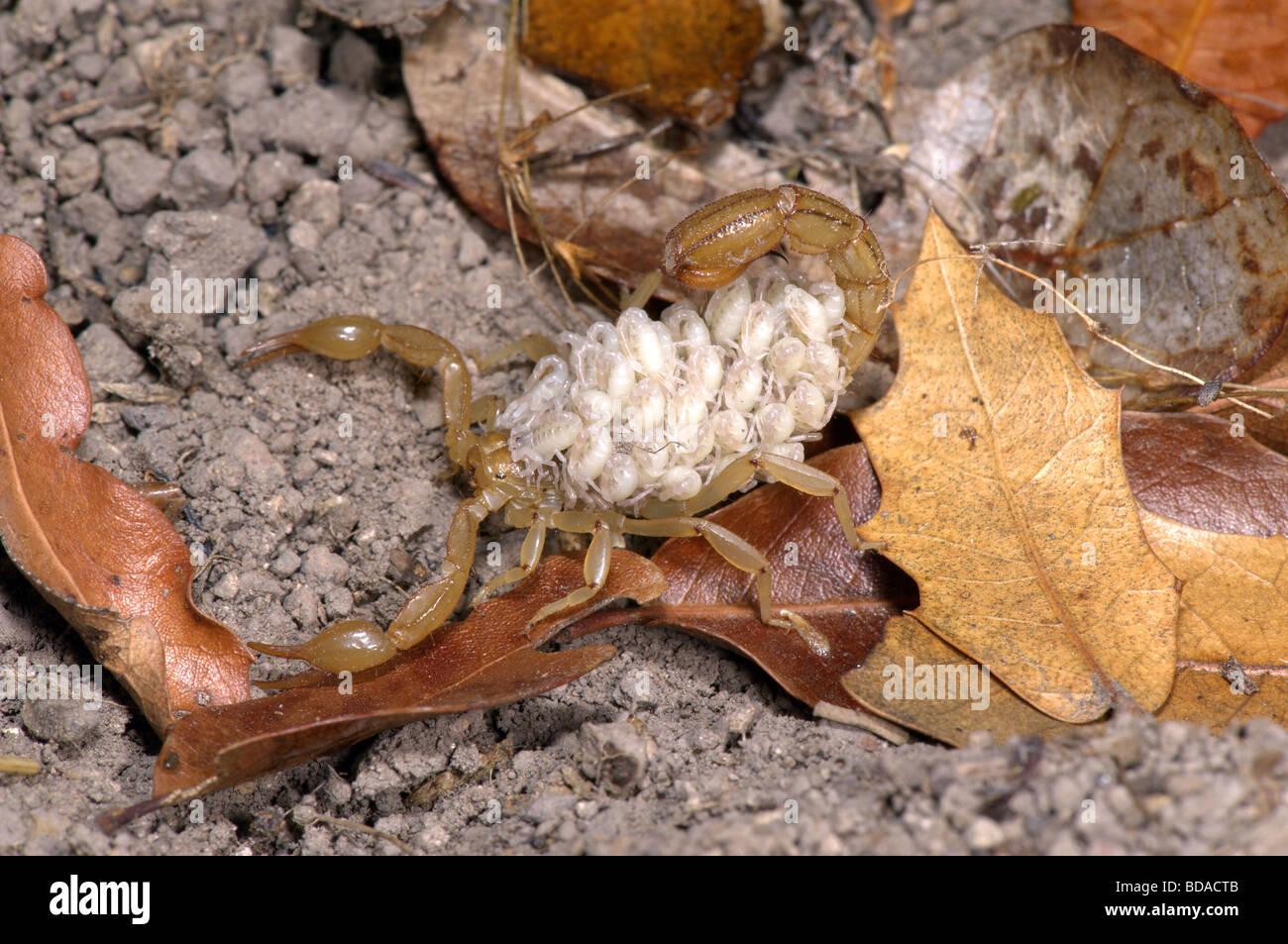 Stripe-tailed Scorpion - Stock Image