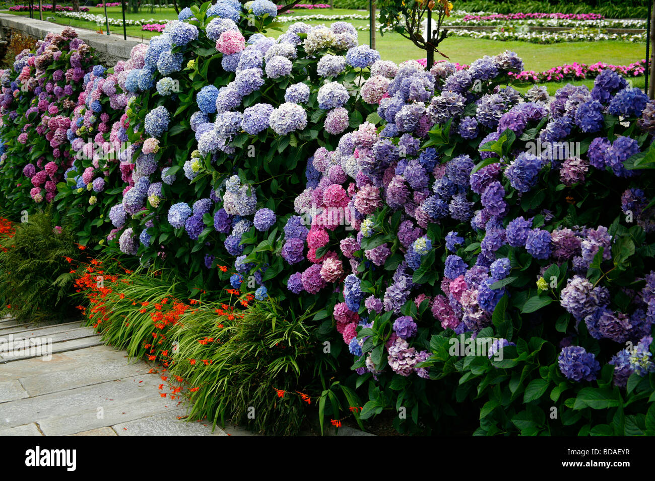 Colourful Hydrangea plants. - Stock Image
