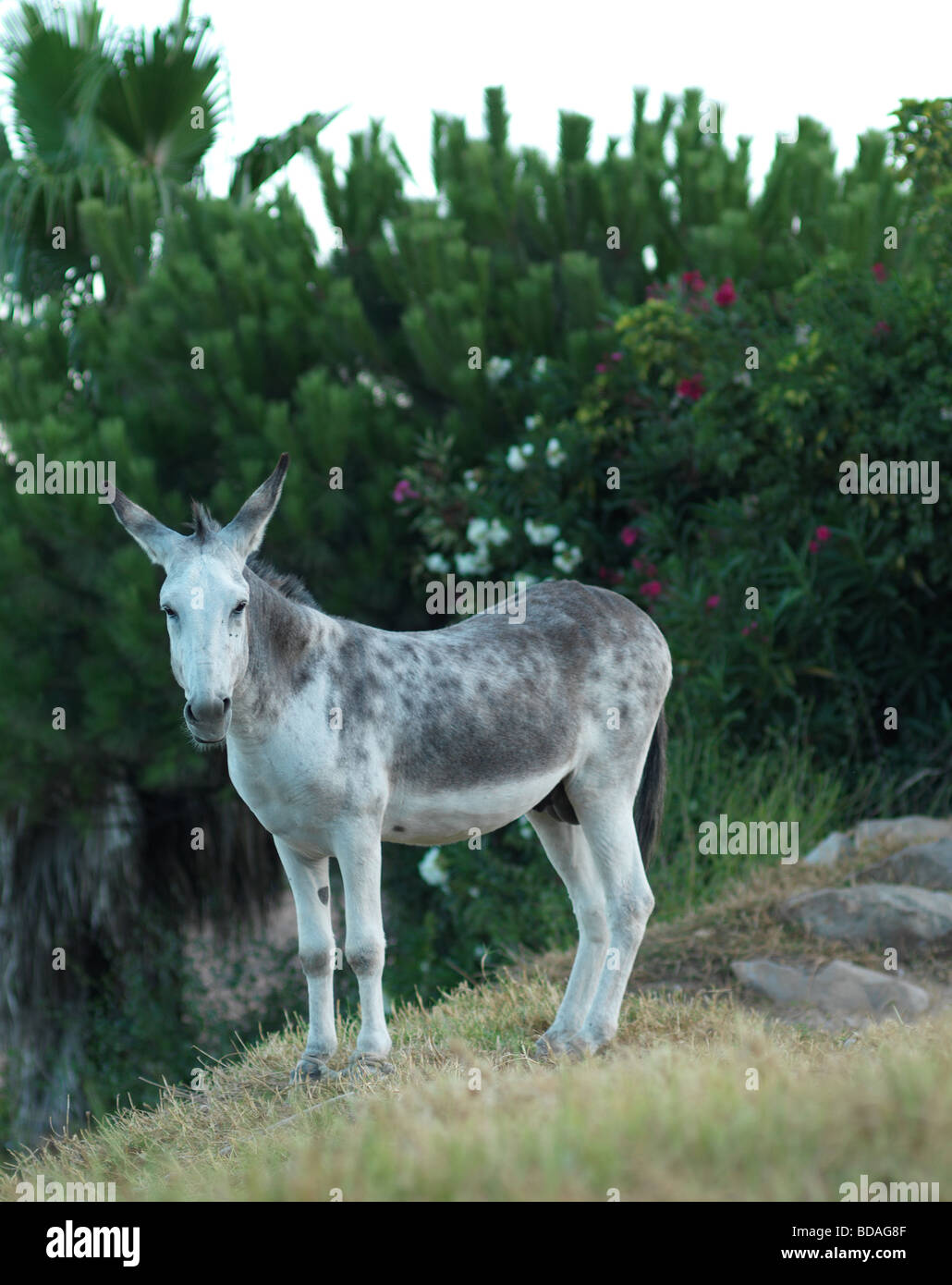 This grey donkey is pictured on August 7 2009 in Andalusia near by Tarifa in southern Spain. Stock Photo