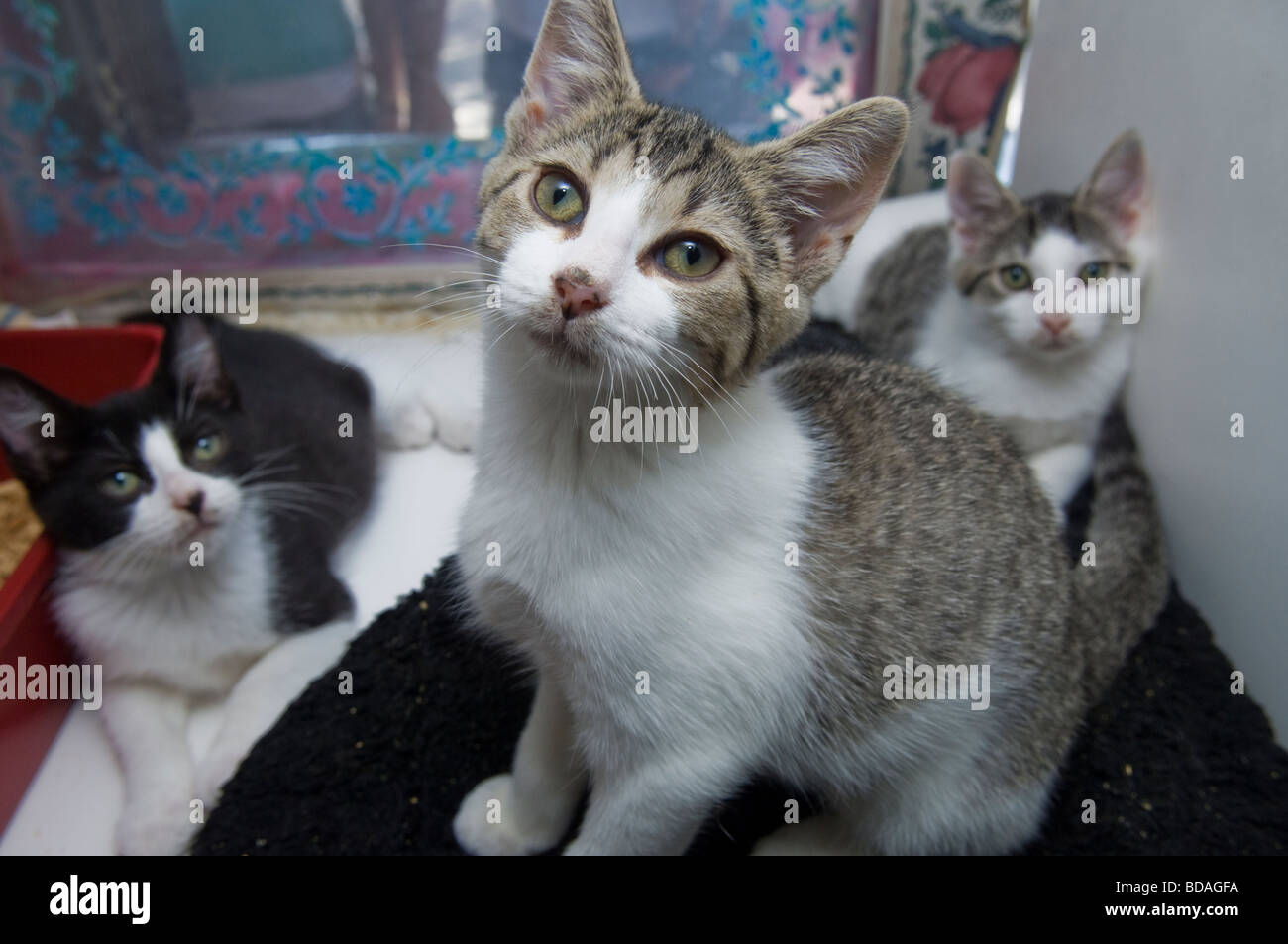 Rescued stray 11 week old kittens in the window of a pet store in New York - Stock Image