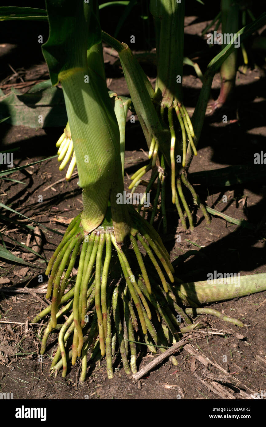 Prop root system on hybrid corn (maize) - Stock Image