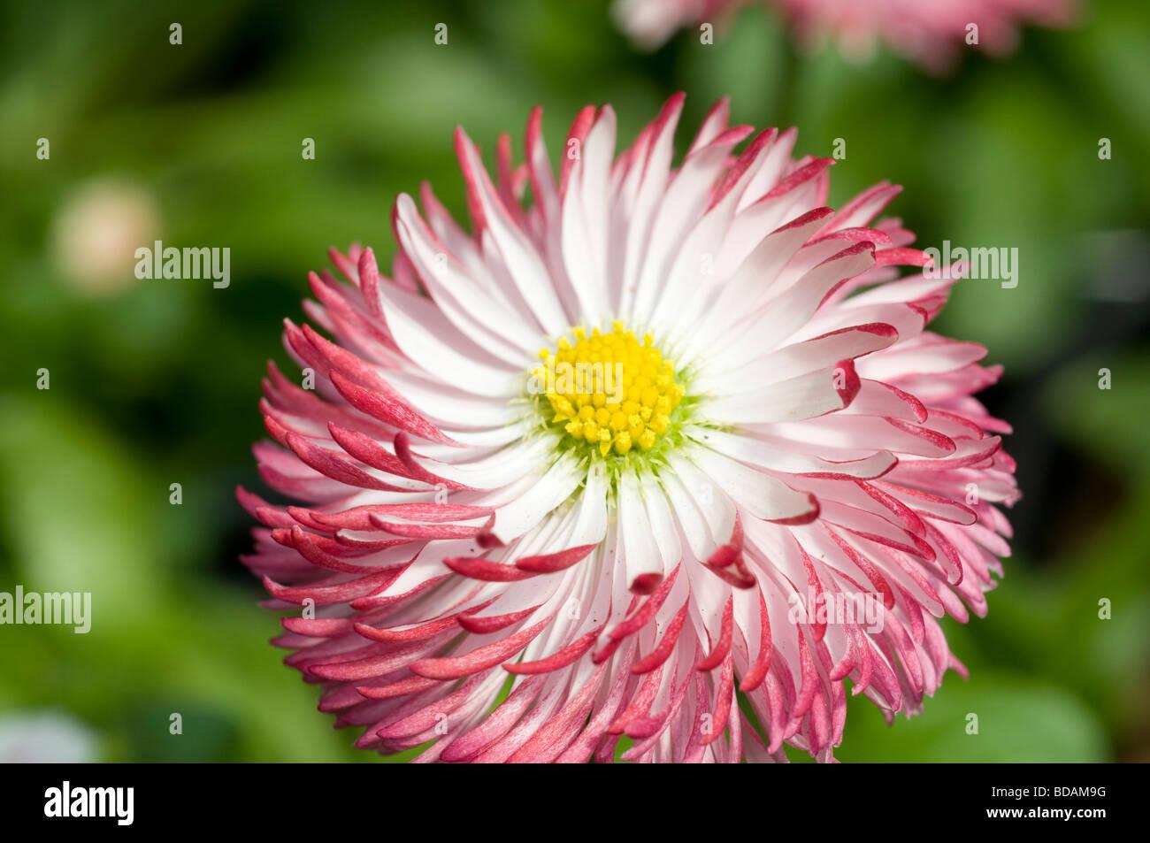 English daisy flower stock photos english daisy flower stock pink english daisy flower stock image izmirmasajfo