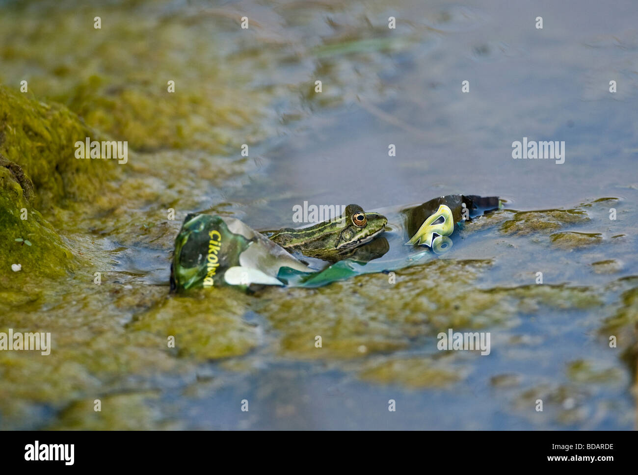 Frog in water beside human garbage discarded turkey - Stock Image