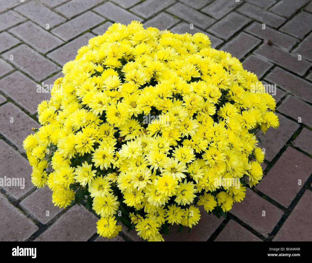 Chrysanthemum `Golden Chalice`. Bushy pot grown plant with bright yellow flowers in a dome shape. - Stock Image