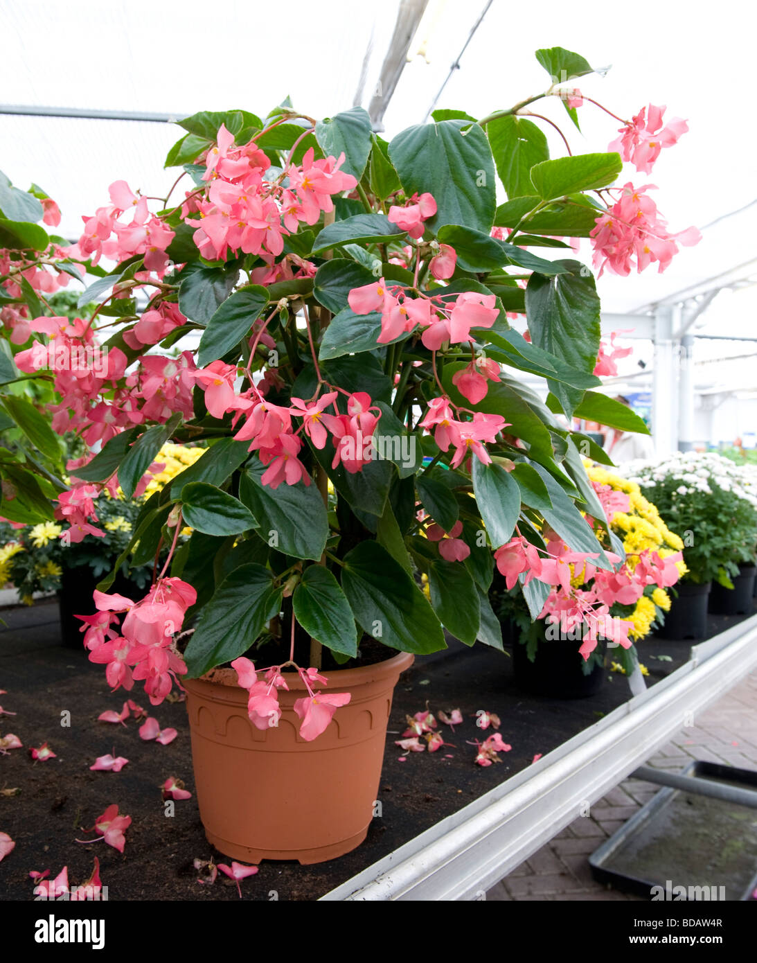 Begonia Dragon Wing Pot Grown Plant With Small Pink Flowers In