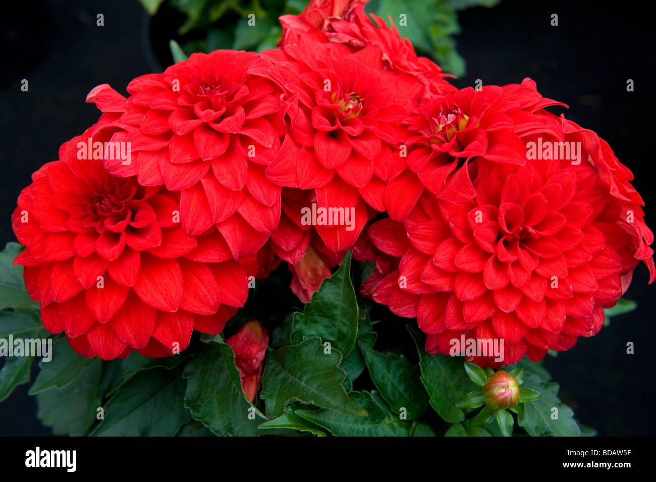 Dahlia `Davenport Lesley` ball head pot grown. Bright red flowers. - Stock Image