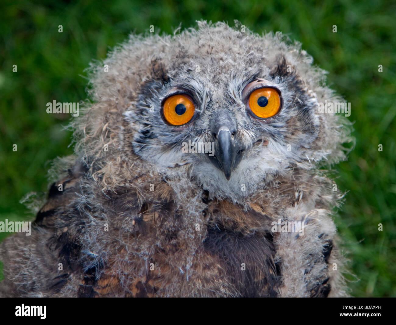 Eurasian Eagle Owl Fledgling (bubo bubo) - Stock Image