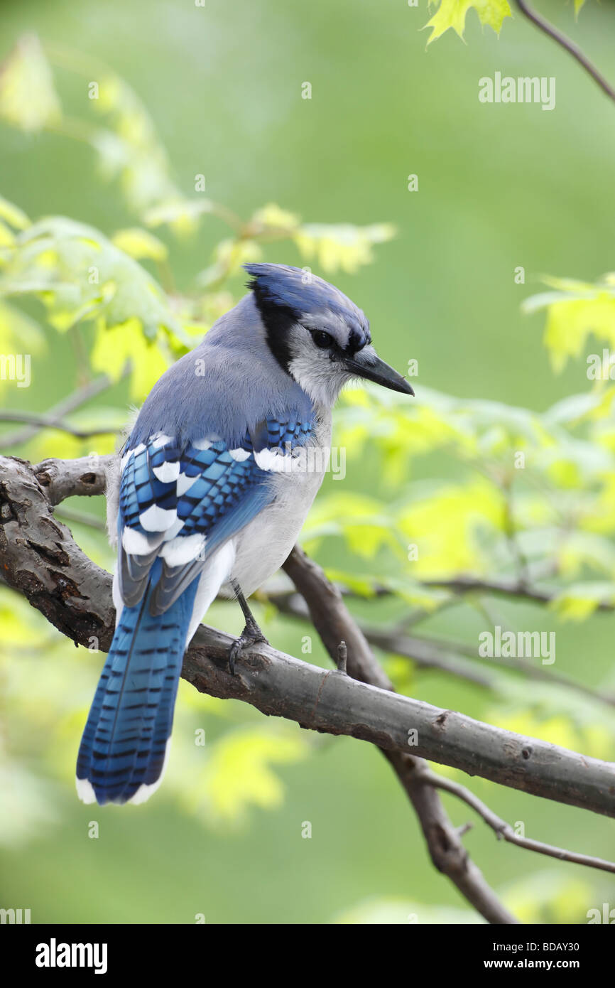 Blue Jay Cyanocitta cristata bromia in New York s Central Park Stock Photo