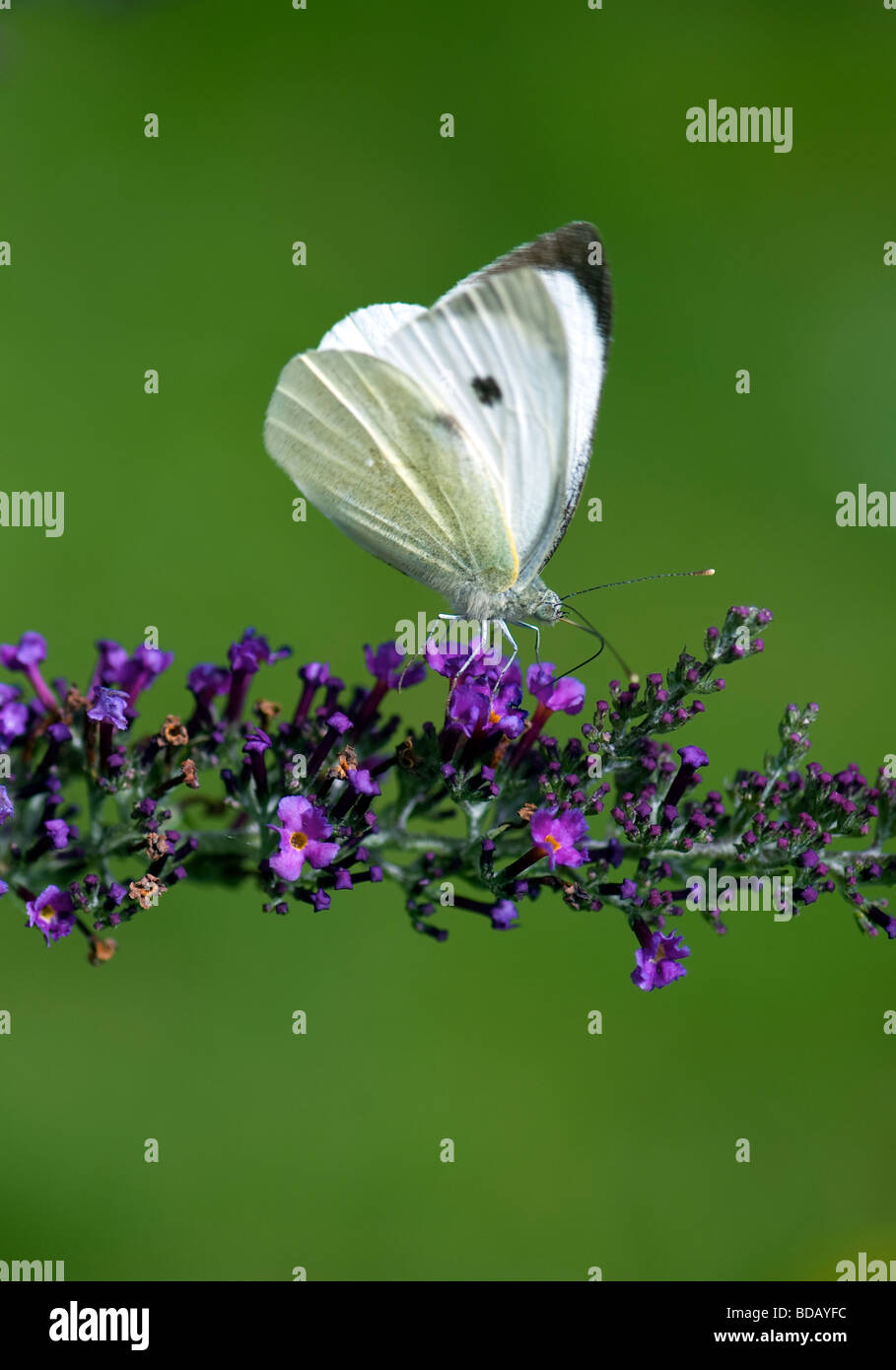 Large White Butterfly On Buddleia (Pieris brassicae) - Stock Image