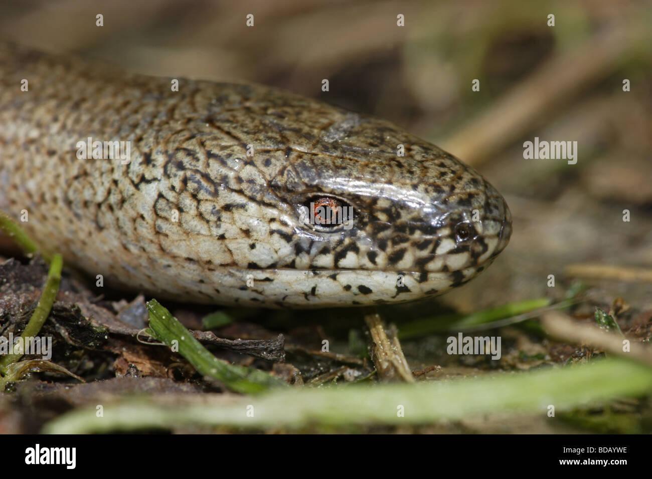 Blindschleiche blindworm (Anguis fragilis) Stock Photo